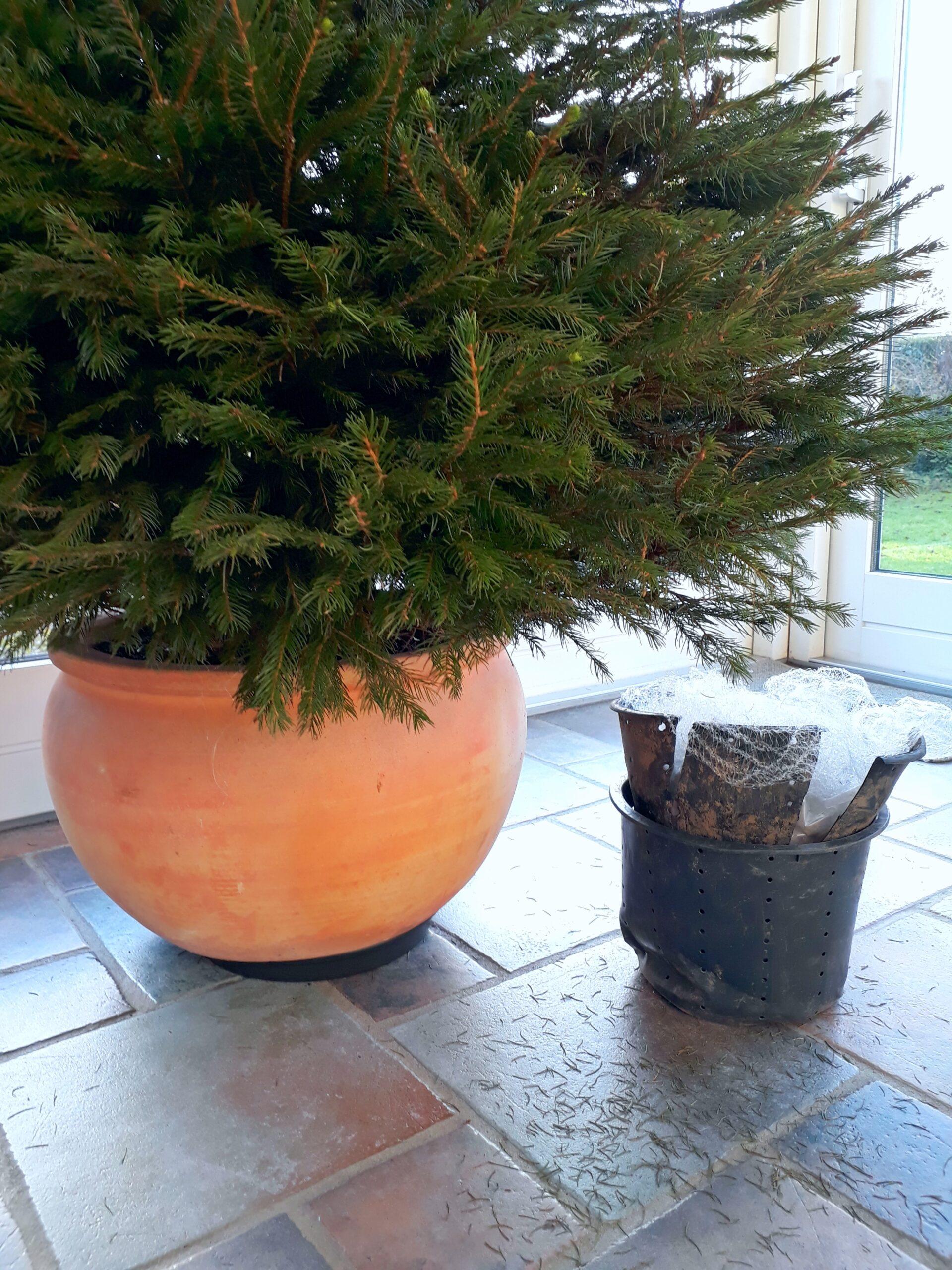 Fordele og ulemper ved et juletræ i potte