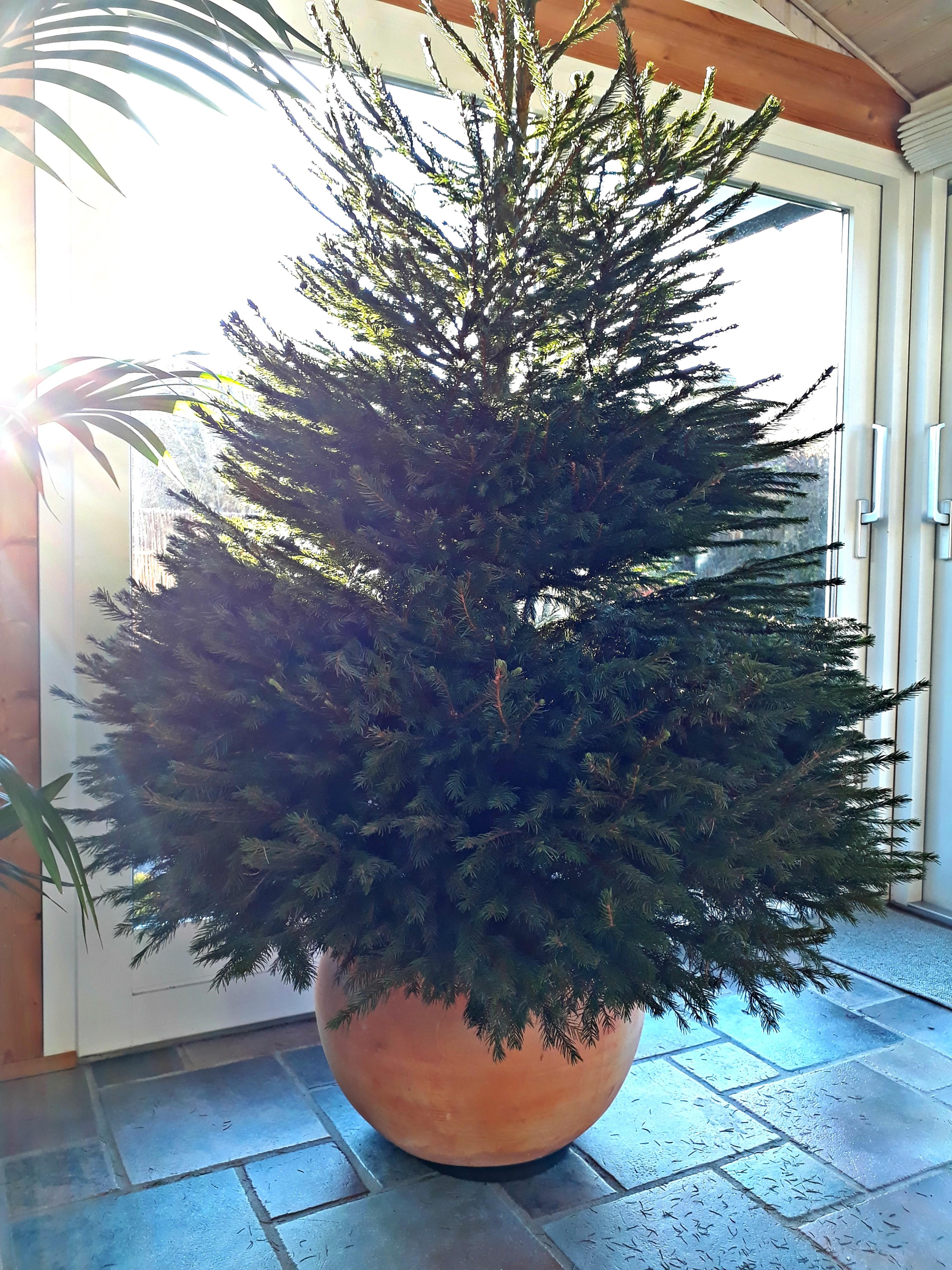 køb juletræ i potte