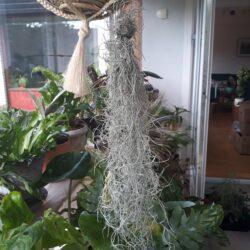 Hængeplante